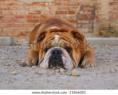 a bulldog in an alley with brick walls