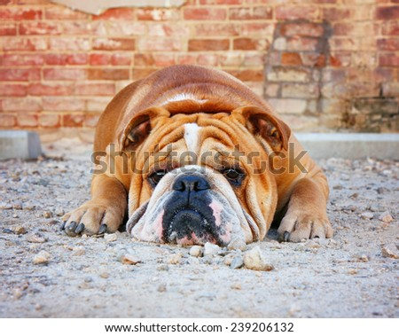 a bulldog in an alley with brick walls - stock photo