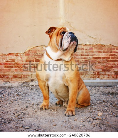 a bulldog posing in an alley - stock photo