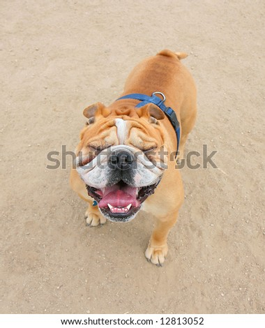 a bulldog with squinty eyes outside