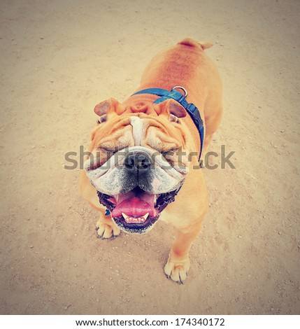 a bulldog with squinty eyes outside done with a vintage retro instagram filter - stock photo