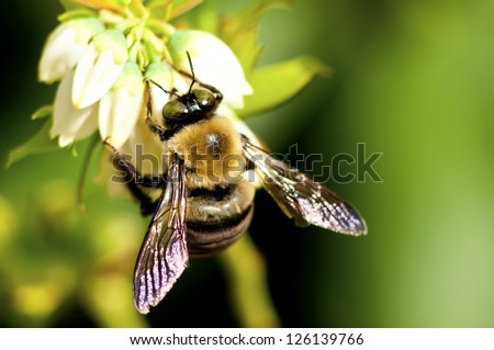 A bumble bee feeds on blueberry blooms. - stock photo