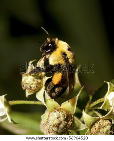 A bumblebee climbs around on a Raspberry. - stock photo