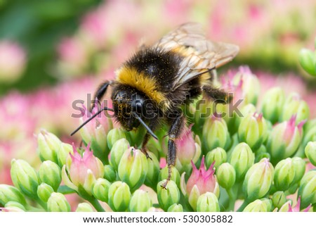 a bumblebee sitting on pink flower, macro shot