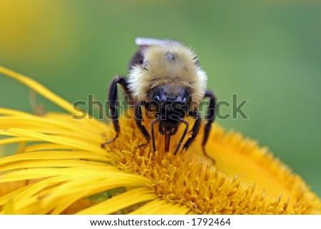 A bumblebee sucks some nectar from a flower. - stock photo