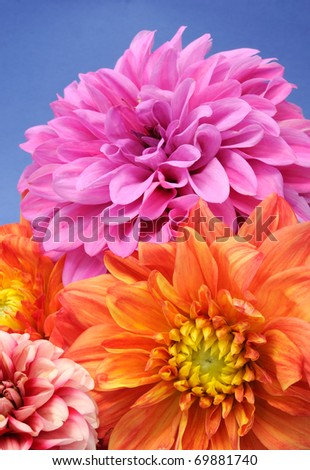 A bunch of beautiful multicolored dahlias on a blue background - stock photo