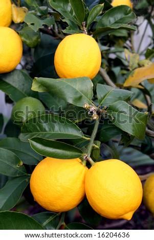 A bunch of bright yellow New Zealand Meyer Lemons on a lemon tree. - stock photo