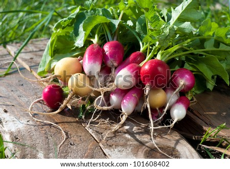 "A bunch of freshly picked wet heirloom radishes ""Easter Egg"" - stock photo"