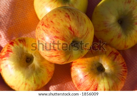 A bunch of Gravenstein apples. - stock photo