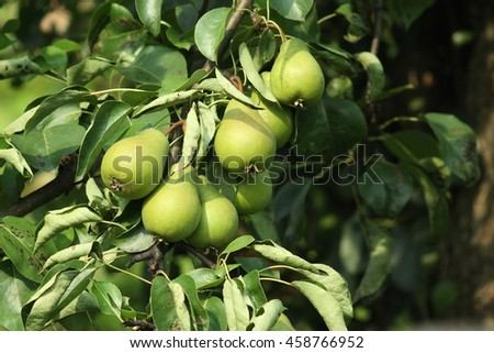 A bunch of green pears on branch