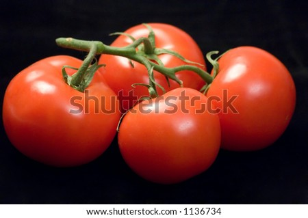 A bunch of  ripe tomatoes on the vine, against a black background. - stock photo