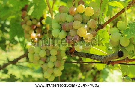 a bunch of ripening grapes - stock photo