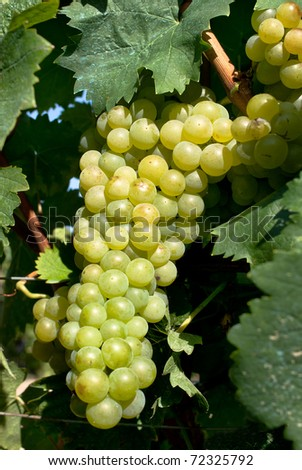a bunch of white grapes - stock photo