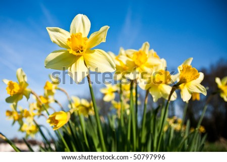 A bunch of wild daffodils on a bright spring morning.  The flowers are covered in morning dew.  Differential focus on the prominent front flower.
