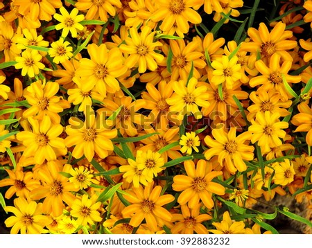 A bunch of yellow Golden-eye wildflowers belonging to the sunflower family.  - stock photo