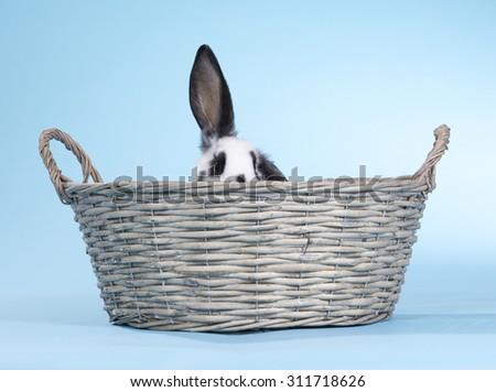A bunny portrait taken in a studio. The rabbit is in the basket. Image taken indoor with a light blue background.  - stock photo