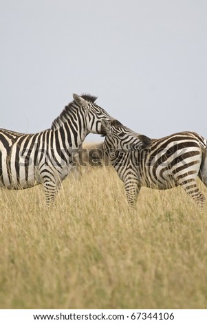 A burchell's zebra & her young on the Masai Mara during the Great Migration. - stock photo