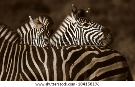 A Burchells zebra rests his head on another in this superb close up monochrome / black and white photo.Taken while on safari in Addo elephant national park,eastern cape,south africa - stock photo