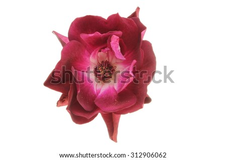 A Burgandy rose flower isolated against white - stock photo