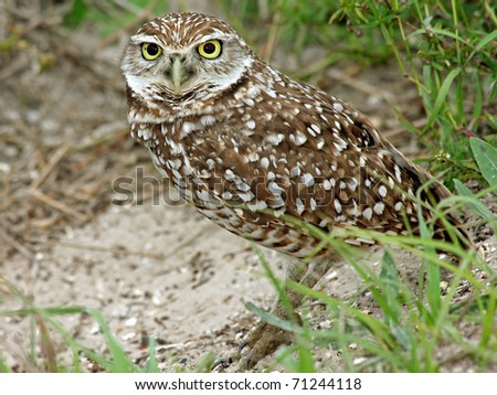 A Burrowing Owl (Athene cunicularia) in Cape Coral, Florida - stock photo