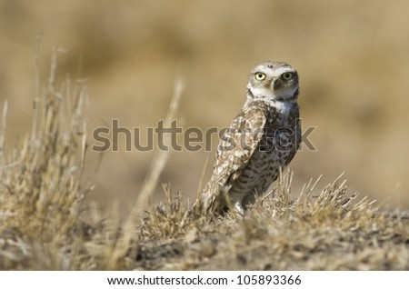 A burrowing owl in fallow farmland in Riverside County.  This is a California species of special concern. - stock photo