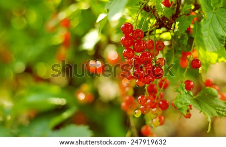 a bush of red current - stock photo