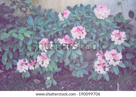 A bush of Rhododendron. - stock photo