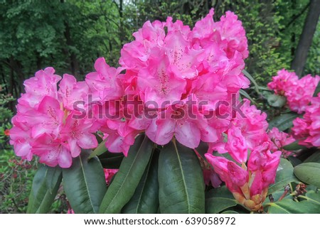 Bush large clusters bellshaped pink flowers stock photo 639058972 a bush with large clusters of bell shaped pink flowers rhododendron closeup mightylinksfo