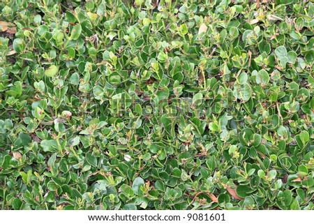 A bush with rounded leaves.