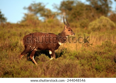 A bushbuck ram in golden light. - stock photo