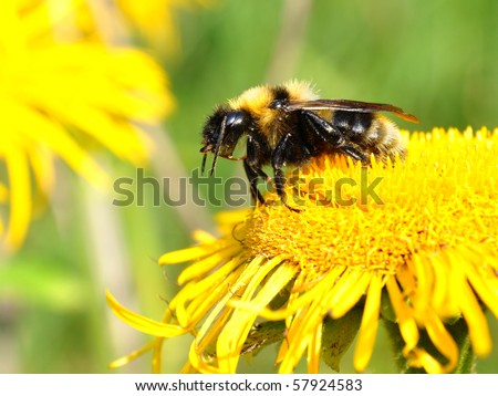 a busy bee on yellow flower