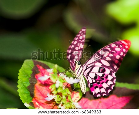 a butterfly flittering wings on a leaf - stock photo