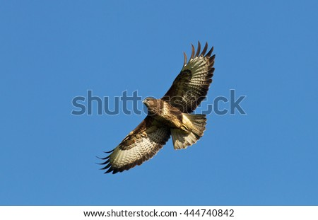A Buzzard flies overhead while hunting the local fields for small mammals and rodents
