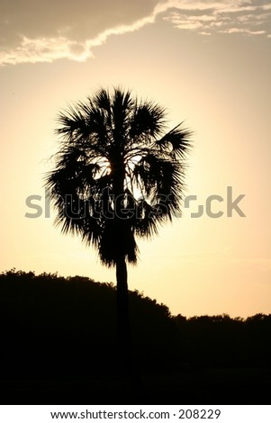 A cabbage palm tree silhouetted against the sunset. - stock photo