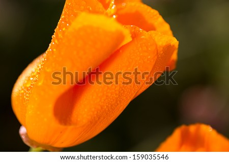 A California Poppy - stock photo