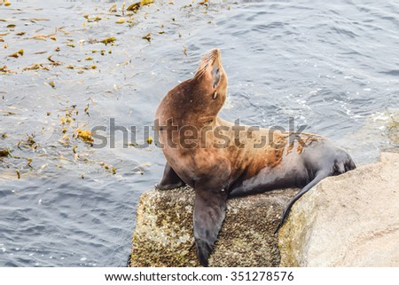 A California Sea Lion (Zalophus californianus) stretches its neck while laying on a rock.
