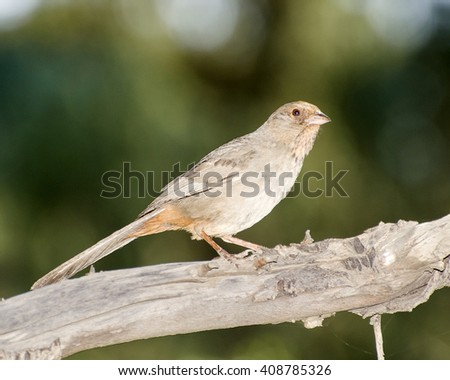A California Towhee (Pipilo crissalis) perches in a tree in Franklin Canyon, Los Angeles, CA, USA.