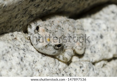 A California Treefrog showing it's amazing camouflage on a granite rock. - stock photo