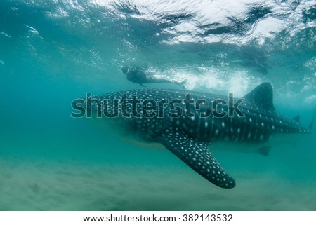 A calm whale shark gliding past a snorkeler in the Indian Ocean - stock photo