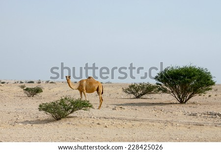 A camel roaming the desert in the centre of Qatar, November 2003 - stock photo