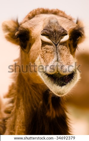 A camel seems to be smiling in a close-up while it's eating in the Syrian desert. - stock photo