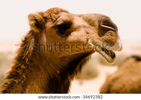 A camel seems to be smiling in a close-up while it's eating in the Syrian desert.