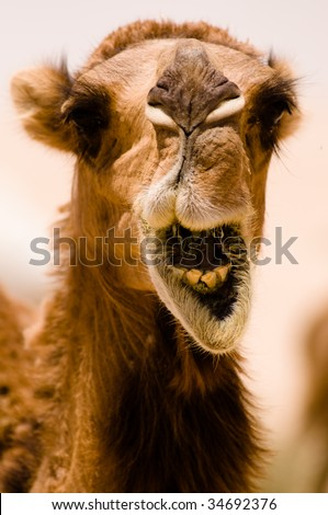 "A camel shows some teeth seems to be ""shouting"" in a close-up while it's eating in the Syrian desert. - stock photo"