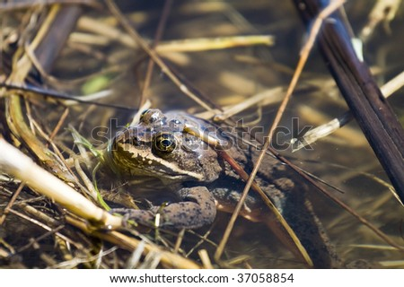 A Camouflaged frog hides in a swampy pond. - stock photo