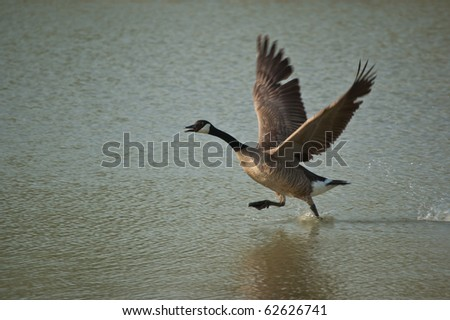 A canada goose (branta canadensis) runs across the surface of a pond as it takes off. - stock photo