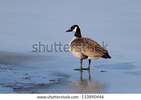 A Canada Goose ready to step in the water at a lake in Missouri. - stock photo