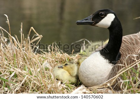 A Canada Goose sitting on a nest with her gosling next to a lake in spring in Winnipeg, Manitoba, Canada - stock photo