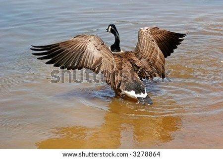 A canadian goose landing in a lake - stock photo