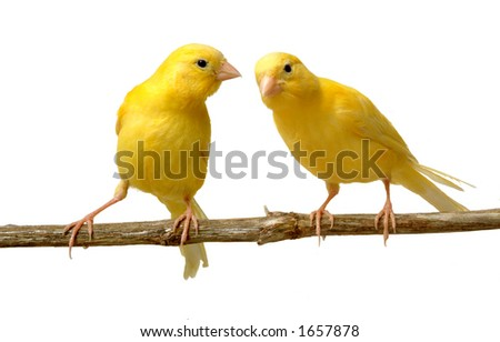A canary listen to a partner - stock photo
