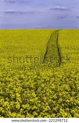 A canola or rape seed field with the tracks of a tractor. - stock photo
